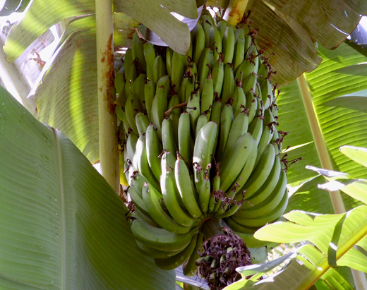 Banana_tree_FLAAR_garden